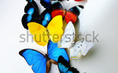 Stock-photo-a-group-of-butterflies-on-white-background-22312036