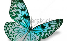 Stock-photo-blue-butterfly-flying-isolated-on-white-background-126402257