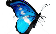 Stock-photo-blue-butterfly-isolated-on-white-127048097