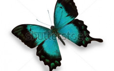 Stock-photo-blue-butterfly-isolated-on-white-74103037