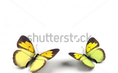 Stock-photo-butterfly-d-render-illustration-on-white-background-59619394
