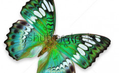 Stock-photo-green-butterfly-flying-114025534
