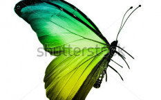 Stock-photo-green-yellow-butterfly-isolated-on-white-123776989