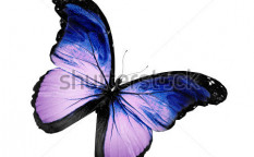 Stock-photo-grunge-violet-butterfly-flying-isolated-on-white-106917395