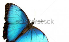 Stock-photo-isolated-blue-butterfly-428400