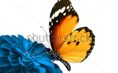 Stock-photo-isolated-butterfly-128959034