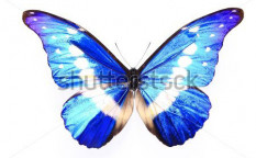 Stock-photo-morpho-helena-staudinger-blue-purple-butterfly-on-a-lonely-and-isolated-white-background-97854788