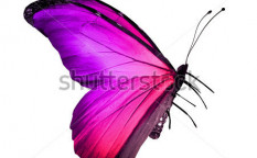 Stock-photo-pink-violet-butterfly-isolated-on-white-124483864