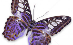 Stock-photo-purple-butterfly-isolated-on-white-background-115841314