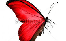 Stock-photo-red-butterfly-isolated-on-white-124483861