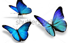 Stock-photo-three-blue-butterfly-isolated-on-white-background-117224947
