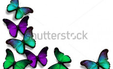 Stock-photo-vinous-blue-green-morpho-butterflies-isolated-on-white-background-114568969
