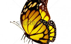 Stock-photo-yellow-butterfly-isolated-on-white-113883589