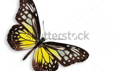 Stock-photo-yellow-butterfly-the-yellow-glassy-tiger-isolated-on-white-106635788