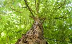 Stock-photo-an-ancient-robinia-leafy-treetop-126332897