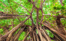 Stock-photo-arbor-of-old-banyan-tree-121108684