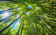 Stock-photo-bamboo-forest-with-morning-sunlight-107447453