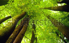 Stock-photo-beech-canopy-66104776 (1)