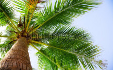 Stock-photo-coconut-palm-on-the-blue-sky-background-74612335