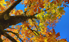 Stock-photo-color-leafs-of-chestnut-on-blue-sky-background-at-autumn-129745295