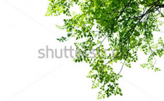 Stock-photo-green-leaves-on-white-background-73096288