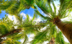 Stock-photo-palm-tree-on-blue-sky-and-white-clouds-67270360