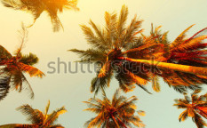 Stock-photo-palm-trees-at-sunset-light-81351637