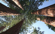 Stock-photo-sequoia-sempervirens-the-genus-in-the-cypress-family-cupressaceae-sequoia-national-park-13549786