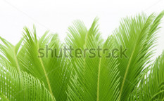 Stock-photo--cycas-leaves-54618937