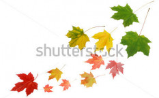 Stock-photo-a-fall-maple-leaves-110231771