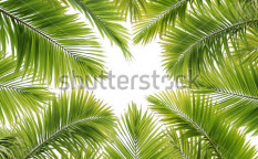 Stock-photo-a-lot-of-palm-tree-leaves-on-white-background-40233523