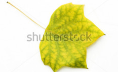 Stock-photo-autumn-leaf-isolated-on-white-6443245
