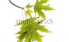 Stock-photo-autumn-leaves-isolated-on-white-6443266