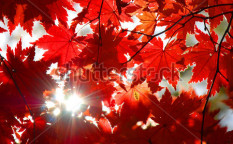 Stock-photo-autumnal-ornament-red-leaves-of-maple-15957088