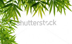 Stock-photo-bamboo-leaves-59293036