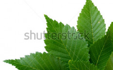 Stock-photo-beautiful-green-leaves-isolated-on-white-84278770