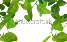 Stock-photo-beautiful-young-lemon-tree-with-water-drops-background-32184643