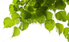 Stock-photo-birch-leaves-isolated-46317826