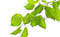 Stock-photo-branch-isolated-12321049