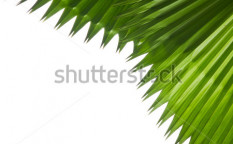 Stock-photo-closeup-palm-green-leaf-isolate-on-white-74808427