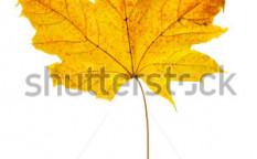 Stock-photo-dry-maple-leaf-isolated-over-white-background-6040210