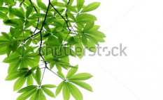 Stock-photo-fresh-leaves-on-white-background-56009689