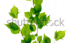 Stock-photo-green-branch-isolated-on-white-39957856