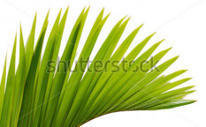 Stock-photo-green-leaf-of-palm-tree-45302086
