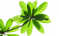Stock-photo-green-leaves-on-white-background-110658221