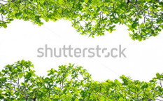 Stock-photo-green-leaves-on-white-background-94788949