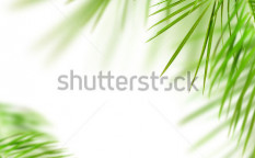 Stock-photo-green-palm-tree-leafs-isolated-over-white-76914517