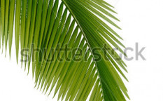 Stock-photo-green-palm-tree-on-white-background-57975682