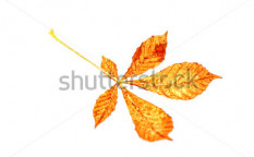 Stock-photo-isolated-dried-leaf-in-autumn-36423565