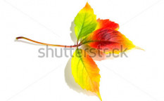 Stock-photo-leafage-of-wild-grape-on-white-background-21024877